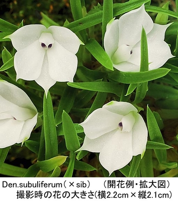 Den.subuliferum(×sib)(スブリフェラム)