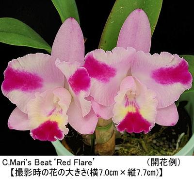 C.Mari's Beat'Red Flare'(カトレア マリズ ビート'レッド フレアー')
