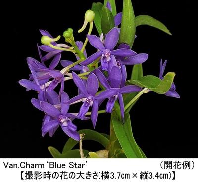 Van.Charm'Blue Star'(バンダコスティリス チャーム'ブルー スター')