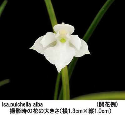 Isa.pulchella alba(イサベリア プルケラ アルバ)(分け株)