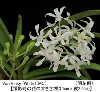 Van.Pinky (White)【バンダコスティリス ピンキー(ホワイト)】(MC)