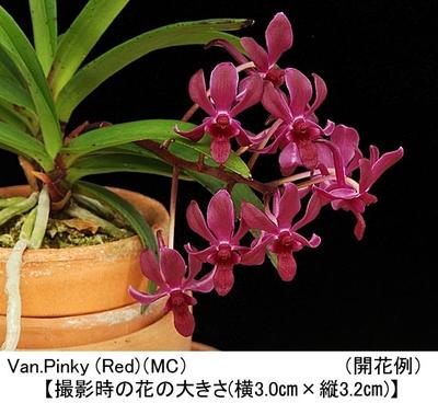 Van.Pinky (Red)【バンダコスティリス ピンキー(レッド)】(MC)