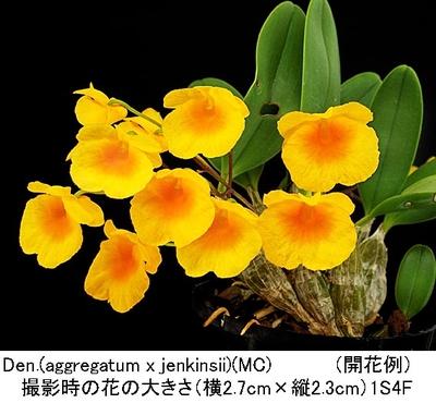 Den.(aggregatum x jenkinsii)(アグレガタム×ジェンキンシー)