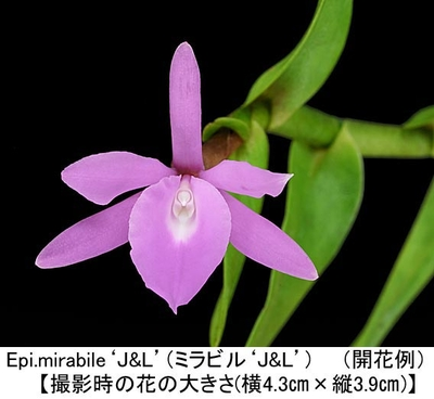 Epi.mirabile'J&L'(ミラビル'J&L')(分け株)