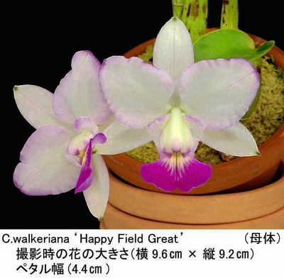 C.walkeriana ('Happy Field Great'בMana Ley Picote')(ワルケリアナ)