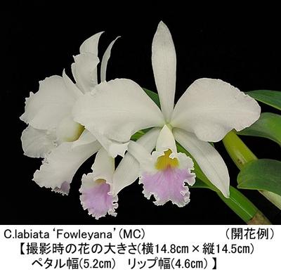 C.labiata'Fowleyana'(ラビアタ'フォーレアナ')(MC)