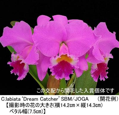 C.labiata tipo('10-15.99'בFine Friend')(カトレア ラビアタ チポ)