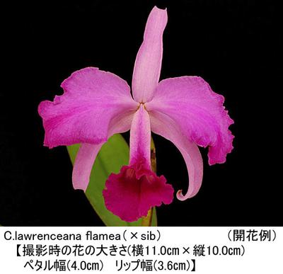 C.lawrenceana flamea(×sib)(ローレンセアナ フラメア)
