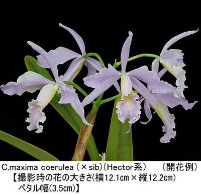 C.maxima coerulea (×sib)(Hector系)(マキシマ セルレア)