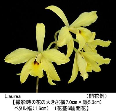 L.aurea (×sib)(レリア オーレア)
