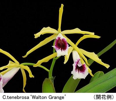 C.tenebrosa('Walton Grange'×self) 【テネブロサ('ウォルトン グランジ'×セルフ)】