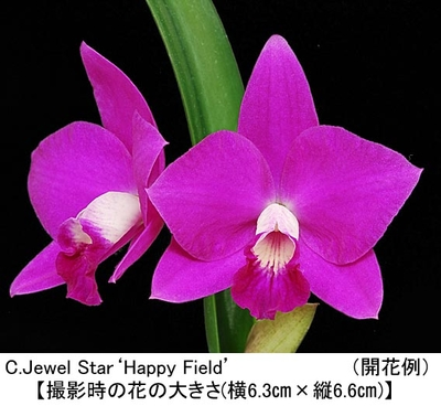 C.Jewel Star'Happy Field'BM/JOGA(ジュエル スター'ハッピー フィールド')