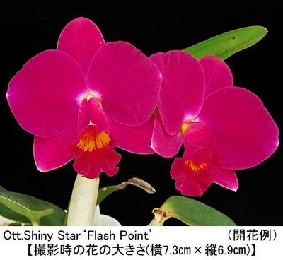 Ctt.Shiny Star'Flash Point'(シャイニー スター'フラッシュ ポイント)