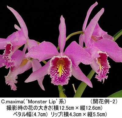 C.maxima('Black Willow'SBM/JOGAבMonster Lip')(マキシマ)