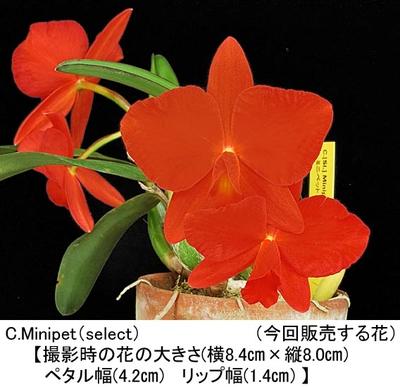 C.Minipet(select)(ミニペット)分け株