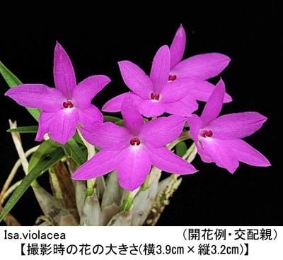 Isa.violacea(イザベリア ビオラセア)