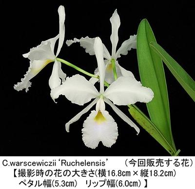 C.warscewiczii'Ruchelensis'(ワーセウィッチー'ルチェレンシス')(分け株開花株)