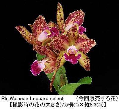 Rlc.Waianae Leopard select(ワイアネ レオパード)セレクト 開花株