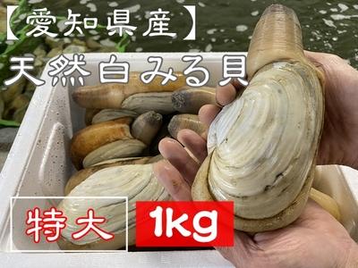 【愛知県三河湾産】 天然活き白みる貝 (特大サイズ) 1kg