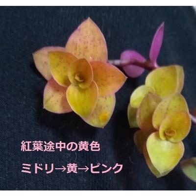 桜色カリシア 5カット 多肉植物