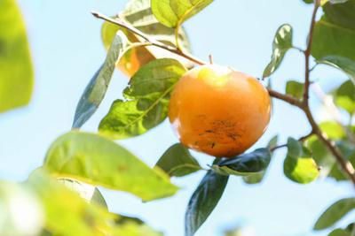 キズ有り家庭用太秋柿 10kg箱入り(20玉前後)-10月中旬より収穫後順次発送-