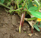 落花生の花は枯れると茎のようになって、地面に潜り込みます