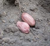 5月中旬から下旬に種を蒔きます