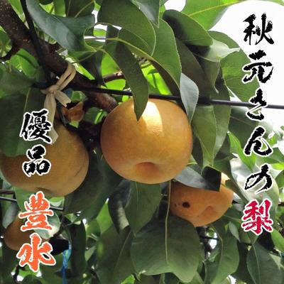 《9月上~中旬に発送》秋元さんの梨・優品「豊水」