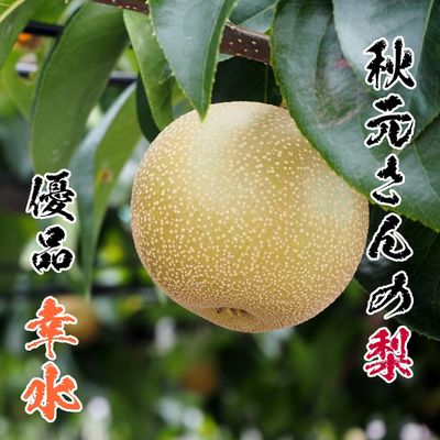 《8月上~中旬に発送》秋元さんの梨・優品「幸水」