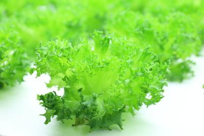 水耕栽培で清潔・新鮮長持ち 伊賀の水で育てた農薬不使用リーフレタス LeafMie(10個 / 25個)