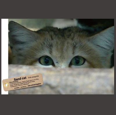 【オリジナル ポストカード】21004 スナネコ 視線