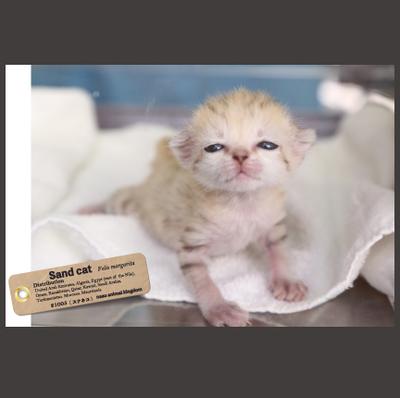 【オリジナル ポストカード】21005 スナネコ アミーラ誕生