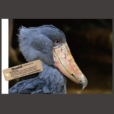 【オリジナル ポストカード】21012 ハシビロコウ カシシ 横顔