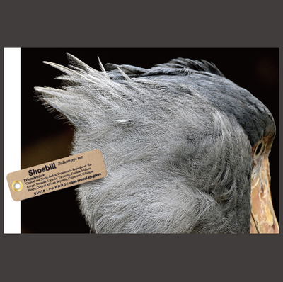 【オリジナル ポストカード】21013 ハシビロコウ カシシ 後頭部