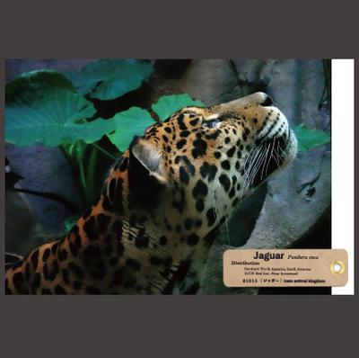 【オリジナル ポストカード】21015 ジャガー ソル 横顔