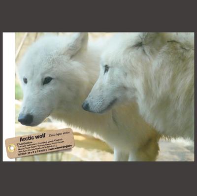 【オリジナル ポストカード】21024 ホッキョクオオカミ 横顔2頭