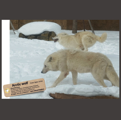 【オリジナル ポストカード】21025 ホッキョクオオカミ ソフィア&シンラ