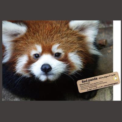 【オリジナル ポストカード】21027 レッサーパンダ 顔アップ