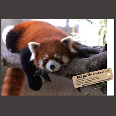 【オリジナル ポストカード】21028 レッサーパンダ 樹上