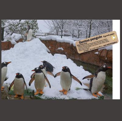 【オリジナル ポストカード】21039 ジェンツーペンギン 雪山集合