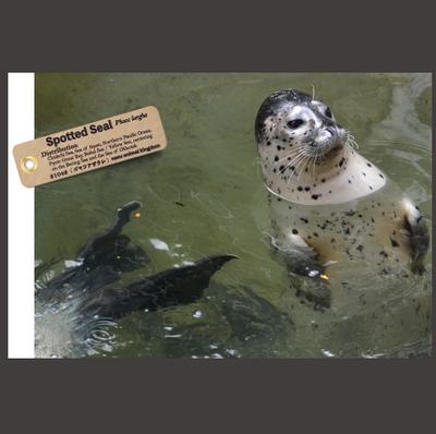 【オリジナル ポストカード】21042 ゴマフアザラシ