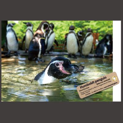 【オリジナル ポストカード】21044 フンボルトペンギン 泳ぎ整列