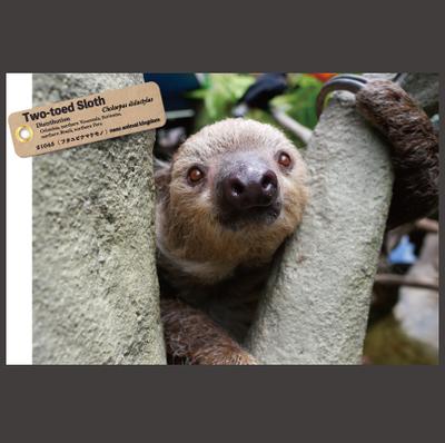 【オリジナル ポストカード】21045 フタユビナマケモノ 樹の間顔アップ