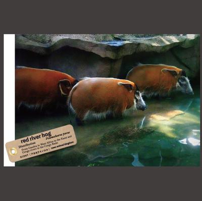 【オリジナル ポストカード】21047 アカカワイノシシ 3頭横向