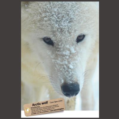 【オリジナル ポストカード】21026 ホッキョクオオカミ 正面顔雪