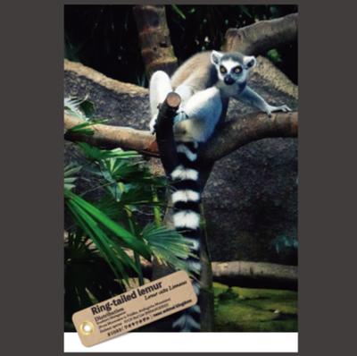 【オリジナル ポストカード】21033 ワオキツネザル 樹上