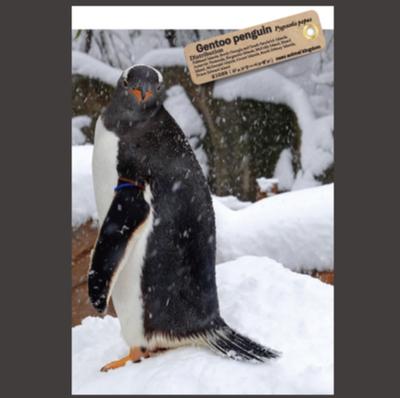 【オリジナル ポストカード】21038 ジェンツーペンギン 横向き顔正面雪山