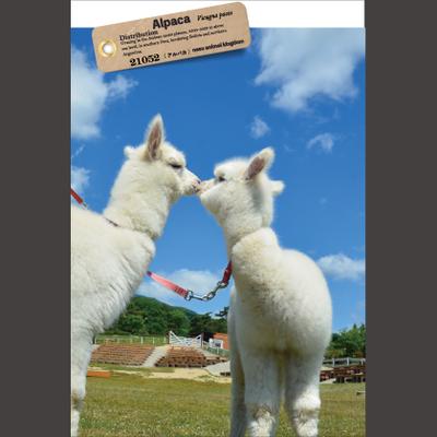 【オリジナル ポストカード】21052 アルパカキッス