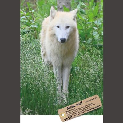 【オリジナル ポストカード】21053 ホッキョクオオカミ 燦那 正面立
