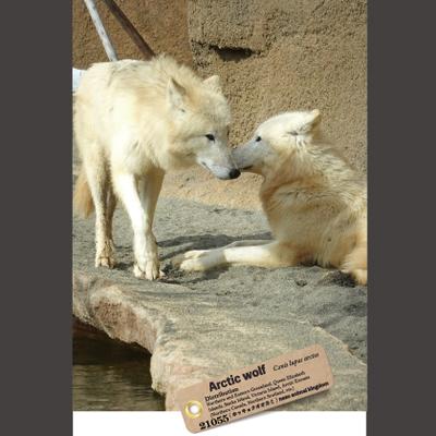 【オリジナル ポストカード】21055 ホッキョクオオカミ兄妹